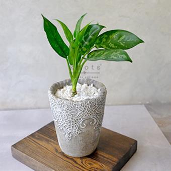 La Suerte Plant/ Aglaonema