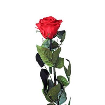 Cherry Red - Long Stem Preserved Rose