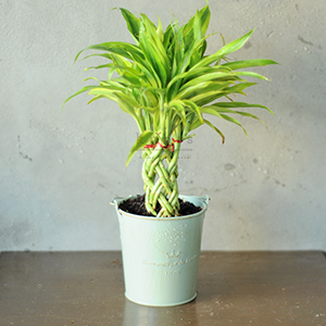II. Braided Fortune Plant