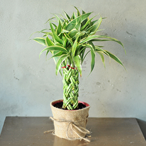 III. Braided Fortune Plant
