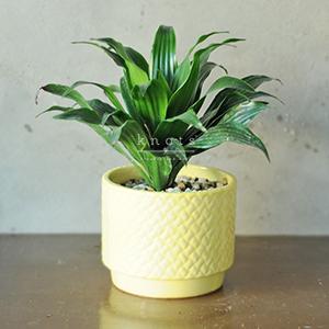 I. Dracaena Plant